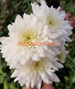 Хризантемы Кристал белый