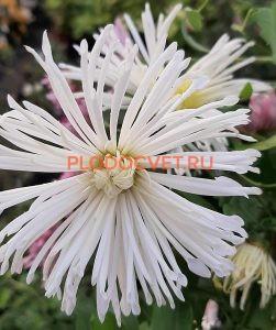 Хризантема Перлынка белая