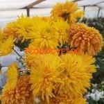 Хризантема Эскорт желтый