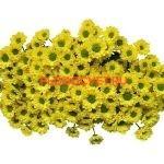 Хризантема Сантини Авизо укорененные черенки