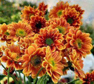 Хризантема Дайон