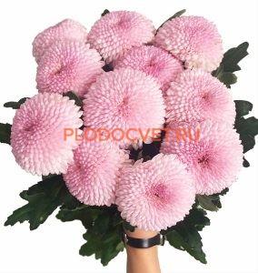Хризантема Момоко укорененные черенки