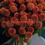 Хризантема сантини Дория черри укорененные черенки