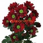 Хризантема сантини Адора. укорененные черенки