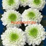 Хризантема сантини Соланж. укорененные черенки