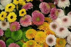 Хризантемы сантини