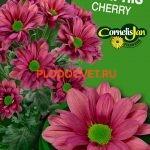 Хризантема спрей Мемфис черри