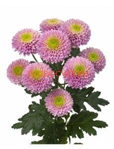Хризантема спрей Сувенир. укорененные черенки